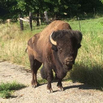 Buffalo at Farm